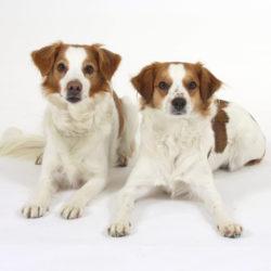Kromfohrländer är en hund med fart och livsglädje som gillar alla typer av aktiviteter.