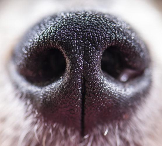 Hundnos i närbild