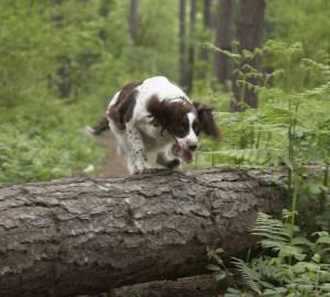 spaniel i skogen