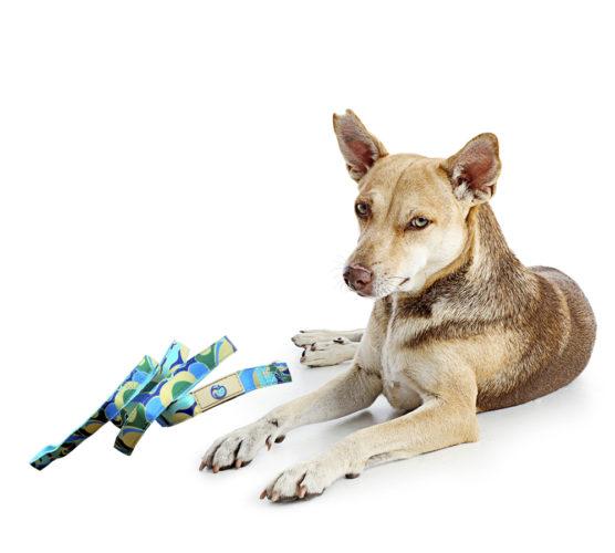 halsband och koppel och en sur hund