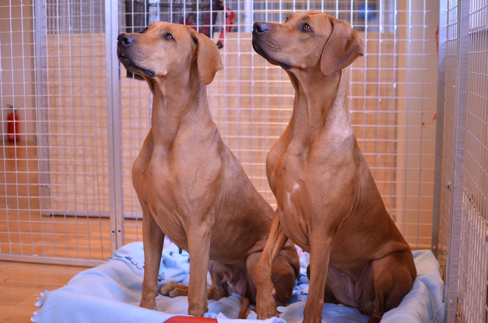 Hundarna Saffran och Sox på kontoret