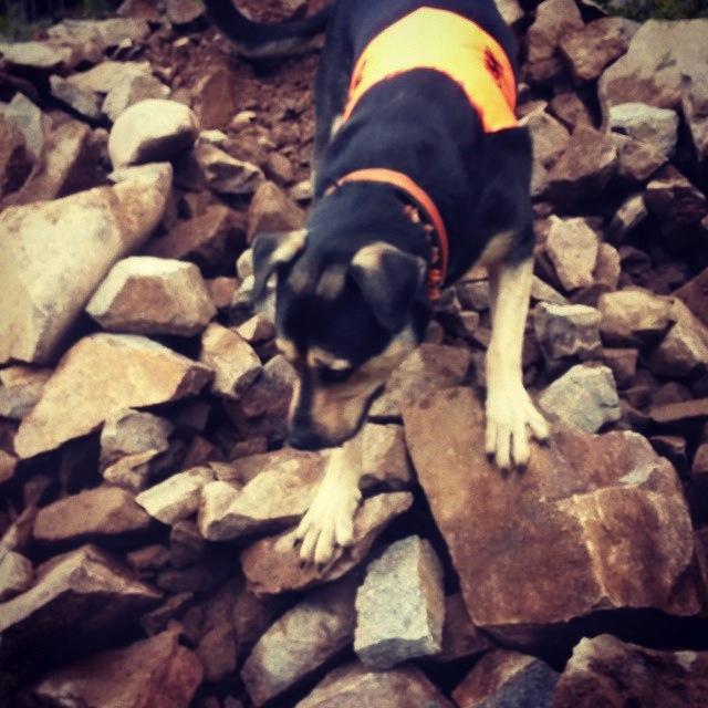 Koi klättrar bland stenar