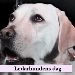 (söt labrador som jobbar som ledarhund) 27 april är det ledarhundens dag