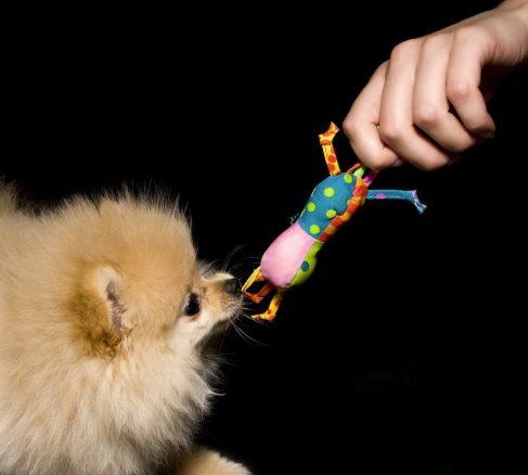 dvärgspets/pomeranier med leksak