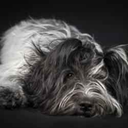 Den som skaff ar en schapendoes får en aktiv och envis hund. Men också en som lätt slappnar av inomhus och som älskar närhet.