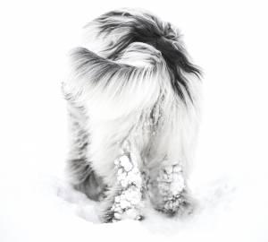 Schapendoes är en vallhund som används för att valla får.