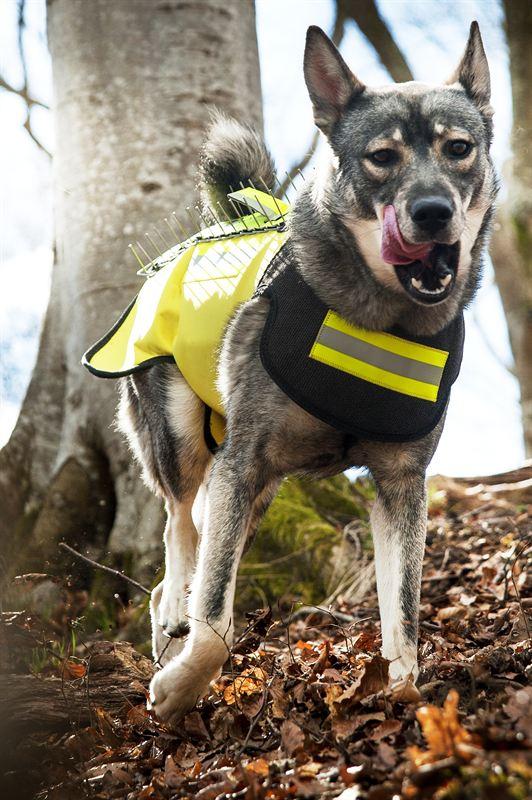Hund med skyddsväst