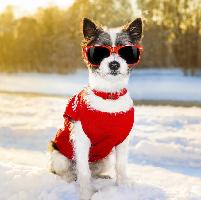 Cool liten terrier på fjället i solglasögon