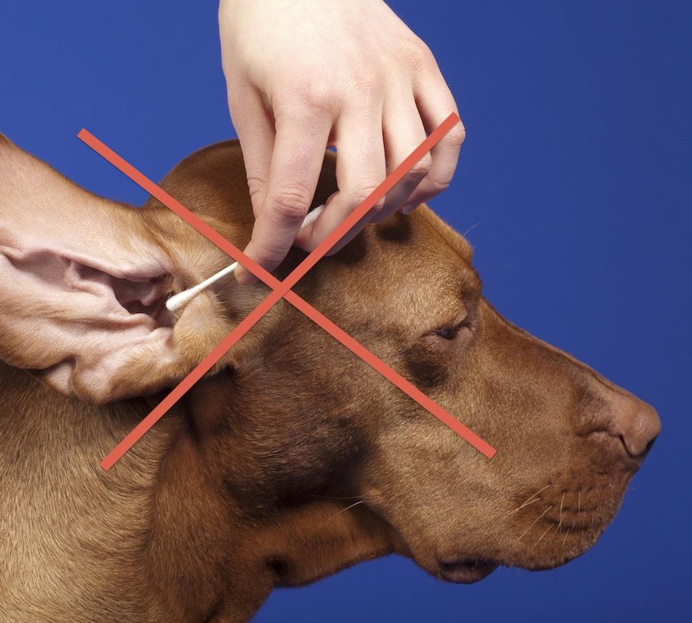 Använd int etops för att rengöra hundens öron