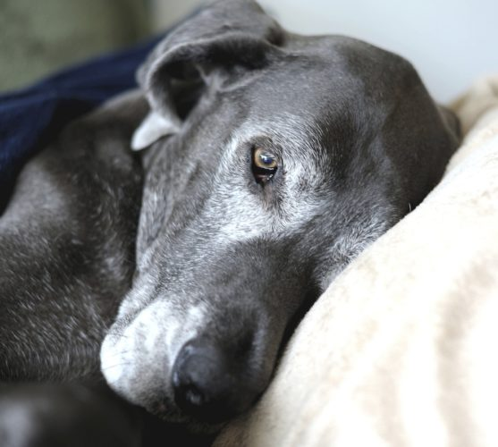 äldre hund myser i soffan