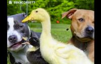 söt familj med ankor och hundar