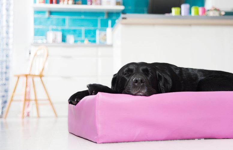 Söt svart labrador snusar sött i rosa Biabädd