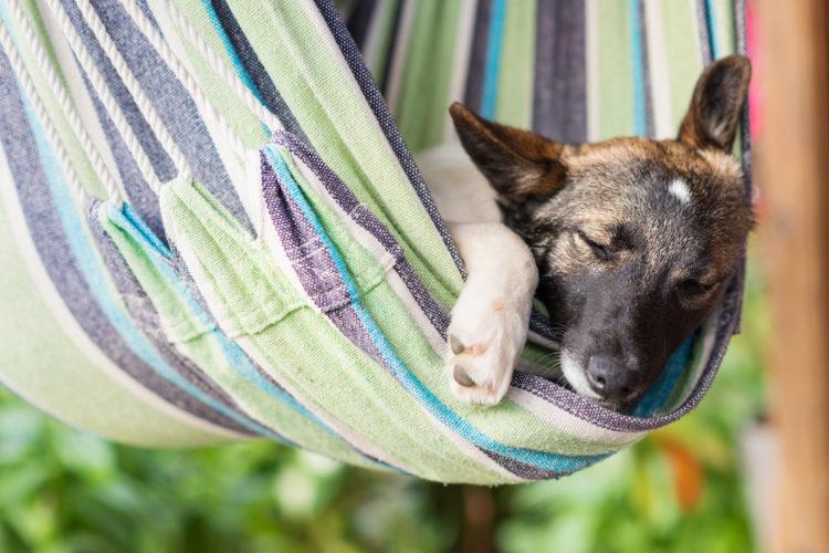 Hund som sussar i hängmatta