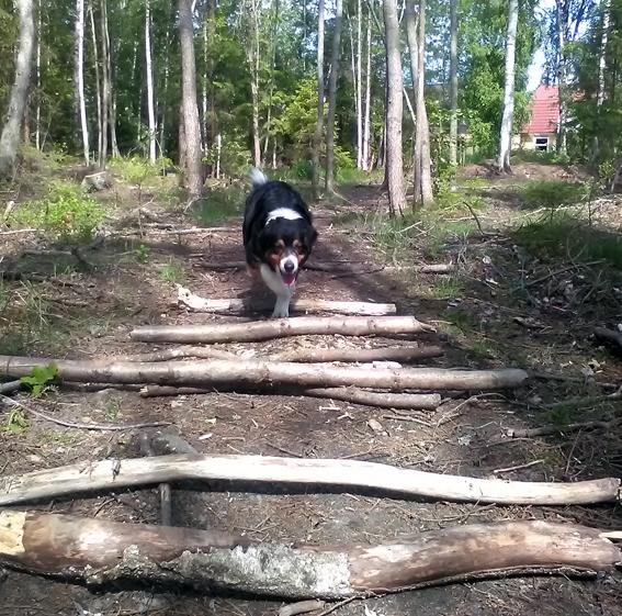 Chakina skrittar i skogen