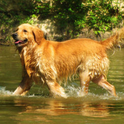 golden retriever i vattenbrynet
