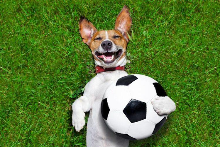 fotbollshund