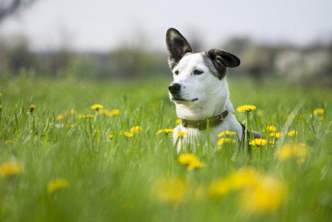 Glad hund bland maskrosor