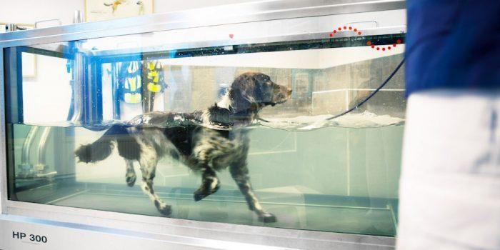 Vattenlöpband, eller water treadmill med hund