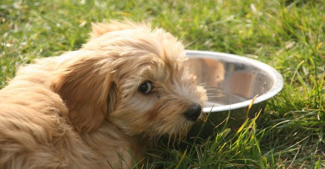Hund vid vattenskål