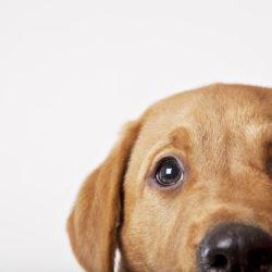 Närbild på söt ljusbrun hund