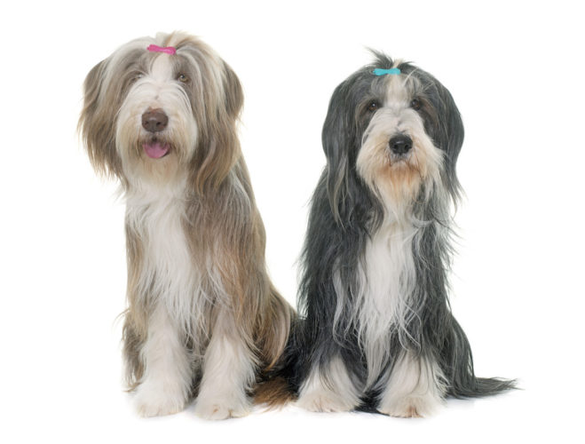 bearded collie x 2
