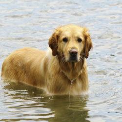 golden retriver i vatten upp till magen