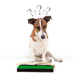 jack russell terrier som frågande tittar i bok
