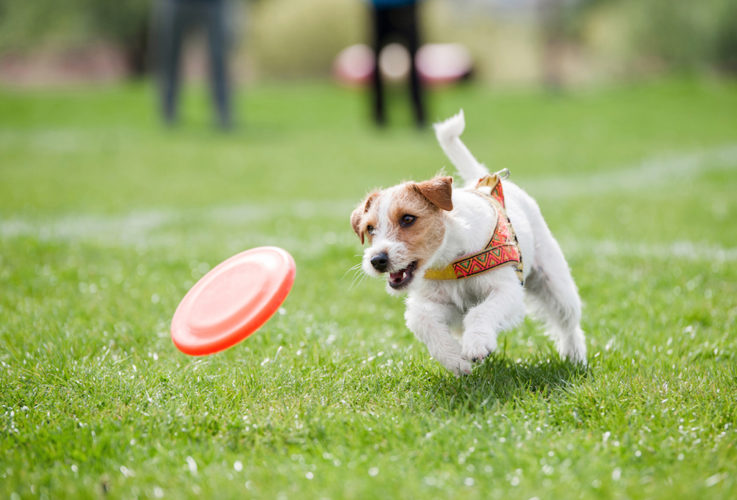 jack russell terrier på jakt efter frisbee