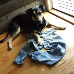 hunden Koi har lagt beslag på mattes jeans