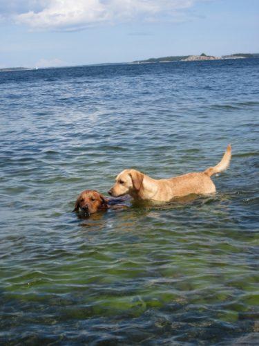 Två hundar badar i blågrönt vatten förhoppningsvis utan giftiga alger