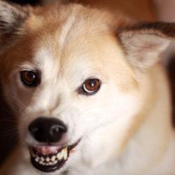 Ljus hund med lyft överläpp, öronen neråt och som ser ut att morra