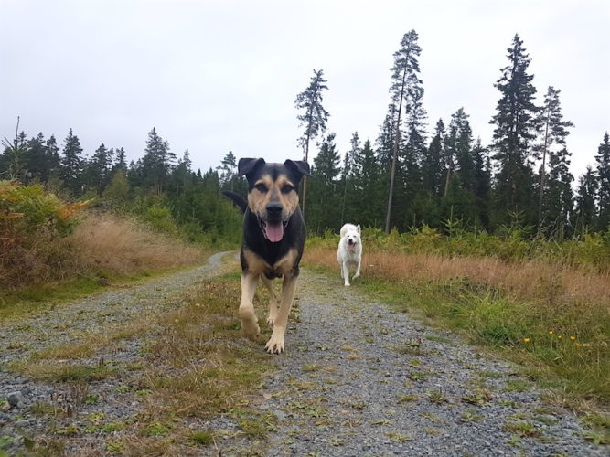 Koi och en vit hundkompis går på liten skogsstig tillsammans