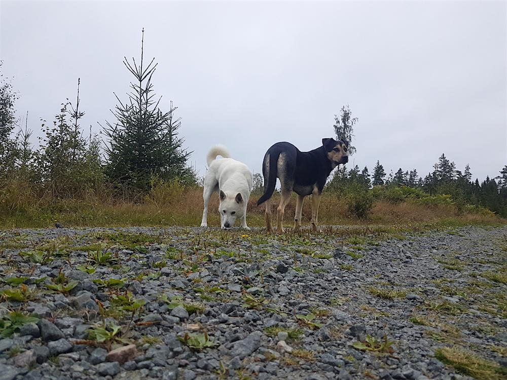Koi och hans vita hundkompis på skogsstigen. Kompisen nosar på något och Koi tittar åt ett annat håll.