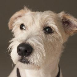 Söt fundersam terrierhund som funderar över va matte säger och hur
