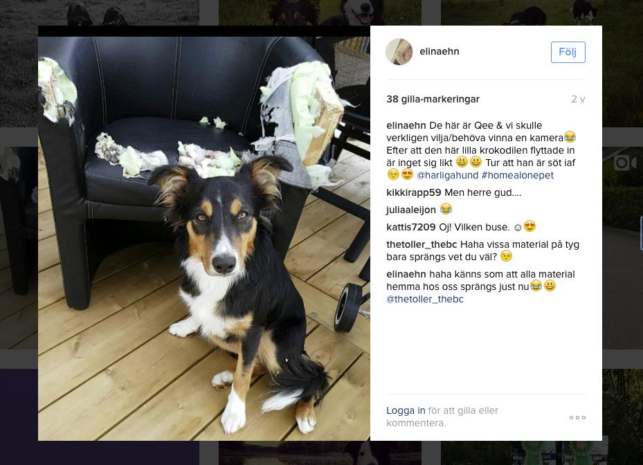 Bild rån instagram med kaxig hund framför upptuggad fåtölj