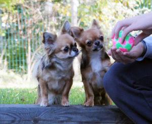 Nyfikna chihuahuor nosar på den nya bollen