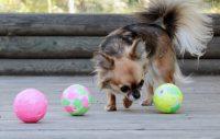 Chihuahua nosar på kul boll.