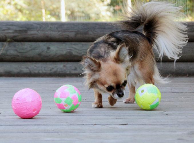"""Chihuahua nosar på kul boll. """"Vad är det i den där?"""""""