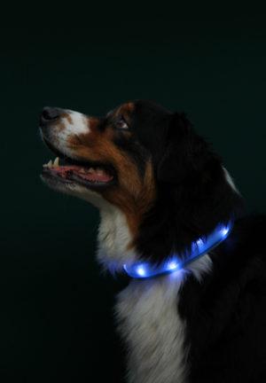 Trixie med blått led-halsband