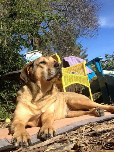 En äldre lite grånosig hund ligger och vilar i solen.