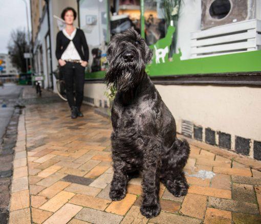 Årets bragdhund 2015, riesenschnauzern Jiddra