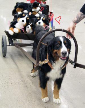 En riktig sötchock var den fina bernen sennern med fullastad vagn på väg till rasparaden.