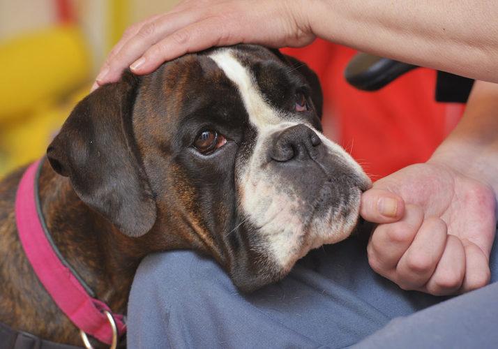 Årets servicehund, boxern Hilda, i arbete.