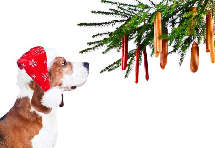 Beagle med tomtemössa spanar in korvar i granen