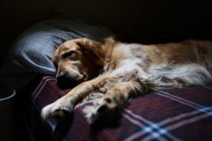 Vad betyder hunddrömmen?