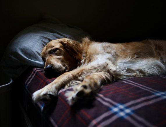 Söt golden retriever som sover på rutig filt