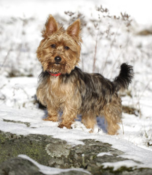 Söt australisk terrier i snön.