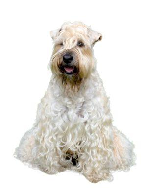 Irish softcoated wheaten terrier, foto: Getty