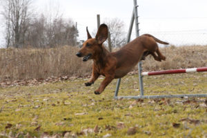 Taxen Wnston tränar agility och hoppar som en hjort över hindret.