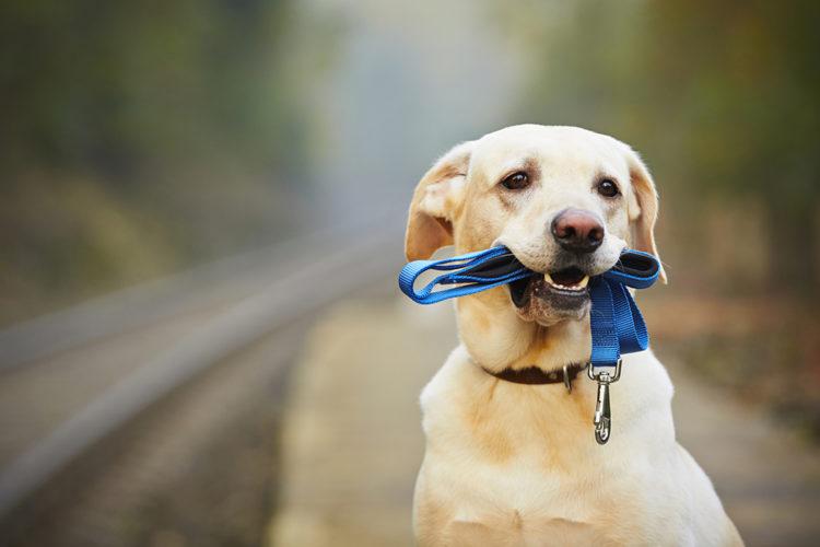Koppelträning och vardagslydnad för flerhundsägare